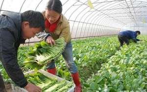 银川灵武优质蔬菜畅销区内外